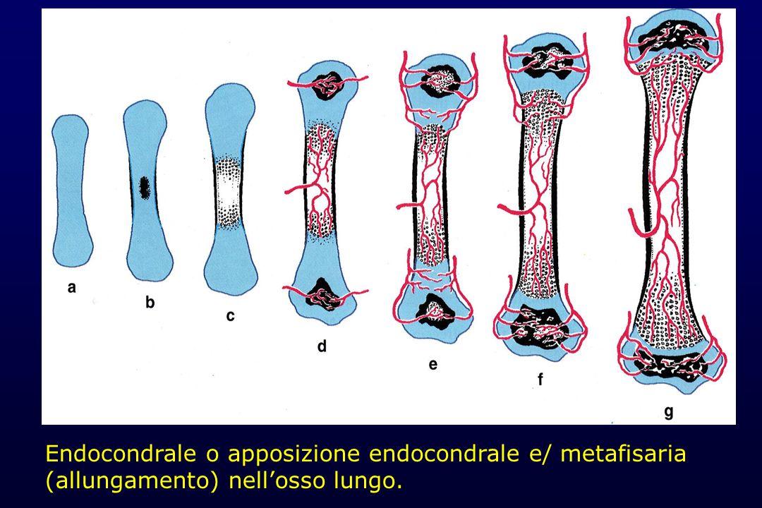Endocondrale o apposizione endocondrale e/ metafisaria (allungamento) nell'osso lungo.
