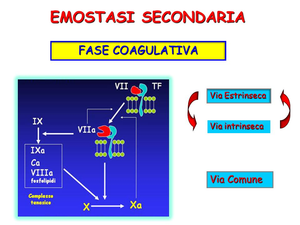 EMOSTASI SECONDARIA FASE COAGULATIVA Via Comune Via Estrinseca