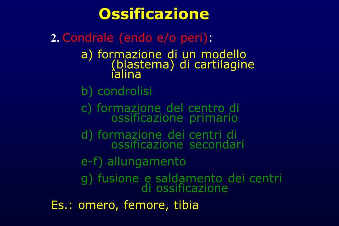 Ossificazione 2. Condrale (endo e/o peri):