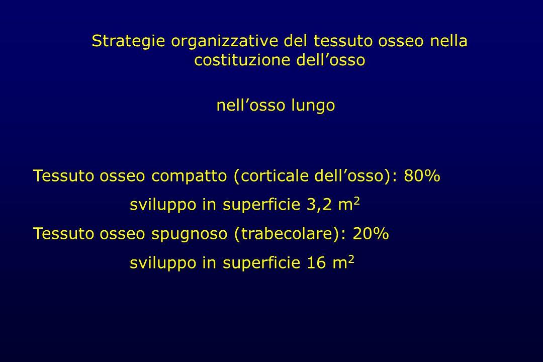 Strategie organizzative del tessuto osseo nella costituzione dell'osso