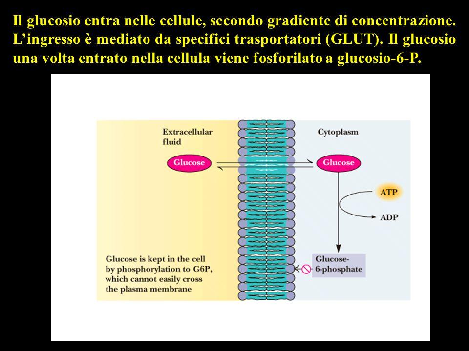 Il glucosio entra nelle cellule, secondo gradiente di concentrazione