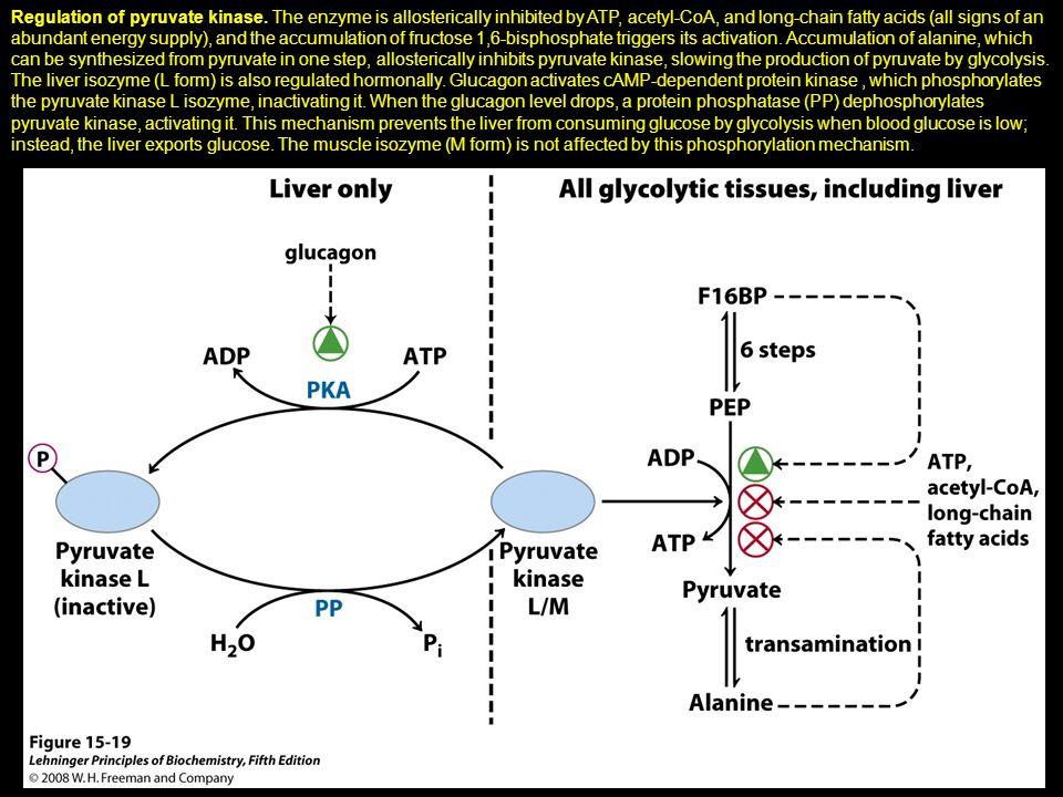 Regulation of pyruvate kinase