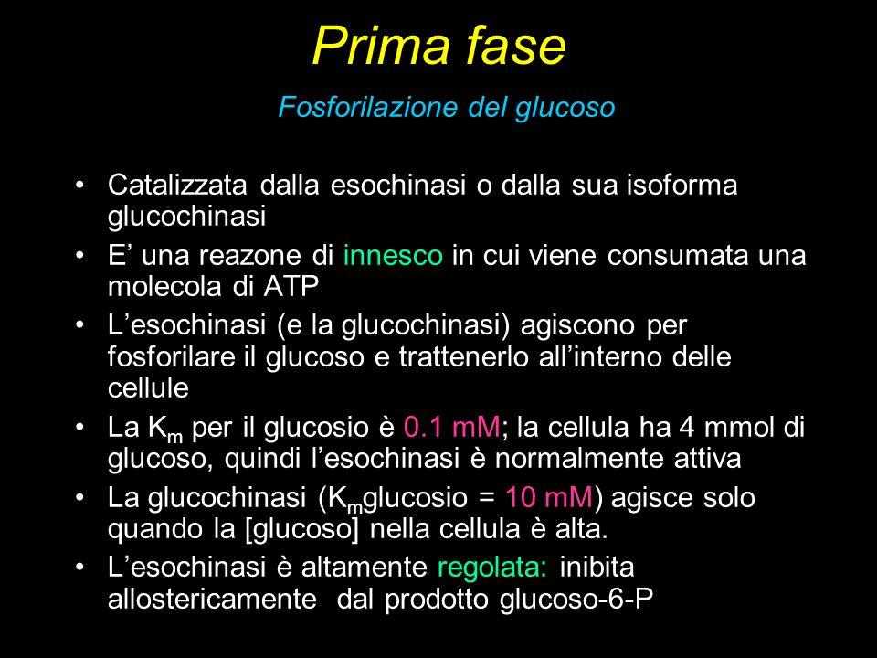 Fosforilazione del glucoso