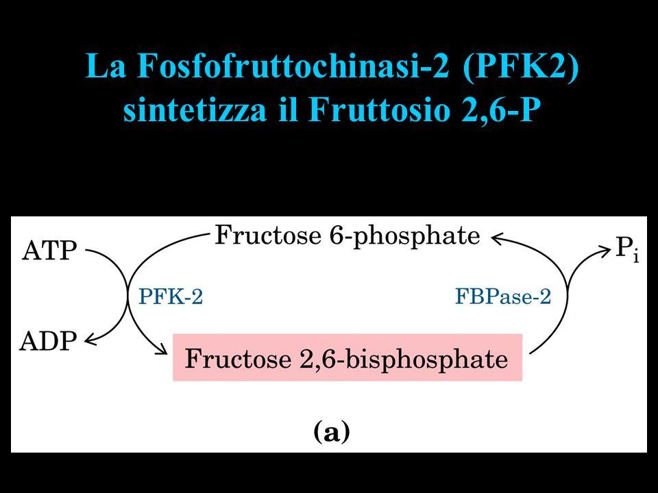 La Fosfofruttochinasi-2 (PFK2) sintetizza il Fruttosio 2,6-P