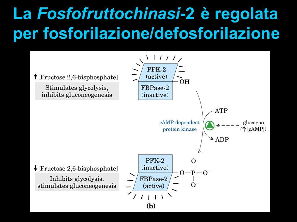 La Fosfofruttochinasi-2 è regolata
