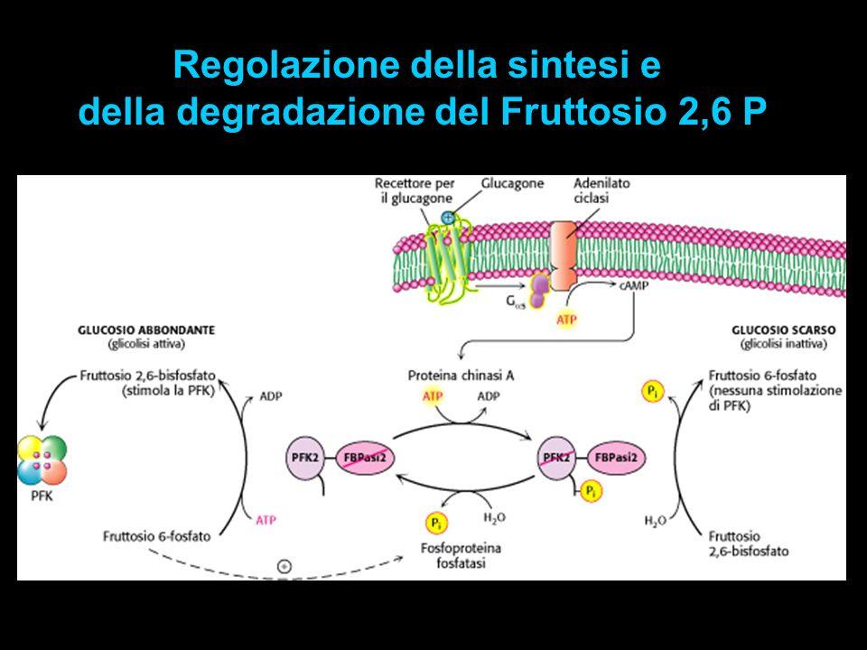 Regolazione della sintesi e della degradazione del Fruttosio 2,6 P