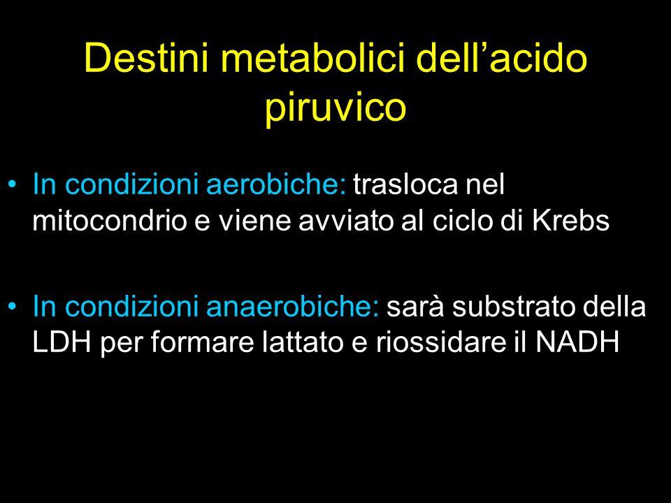 Destini metabolici dell'acido piruvico