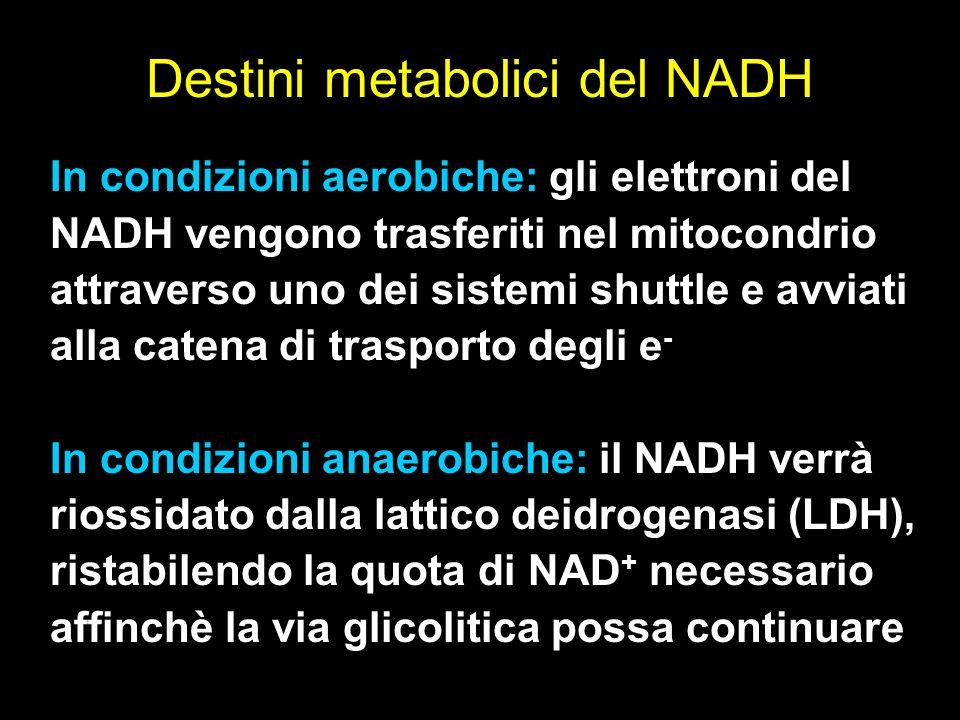 Destini metabolici del NADH