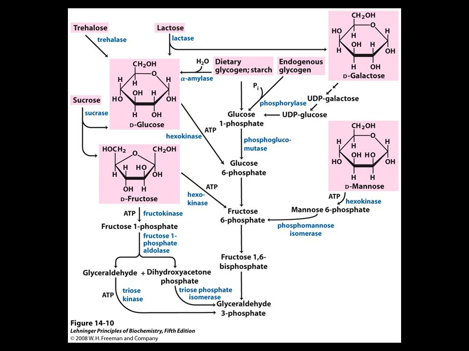 FIGURE 14-10 Entry of dietary glycogen, starch, disaccharides, and hexoses into the preparatory stage of glycolysis.