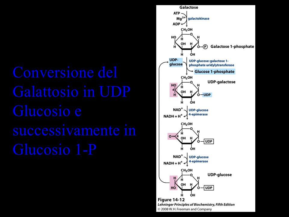 Conversione del Galattosio in UDP Glucosio e successivamente in Glucosio 1-P
