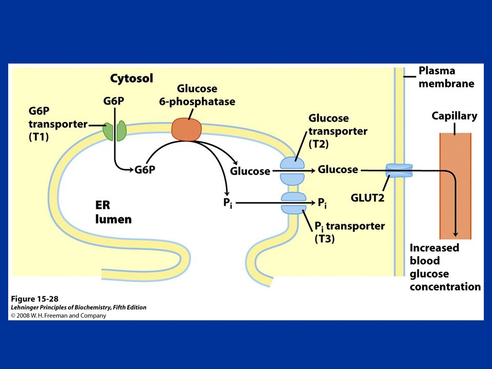FIGURE Hydrolysis of glucose 6-phosphate by glucose 6-phosphatase of the ER.