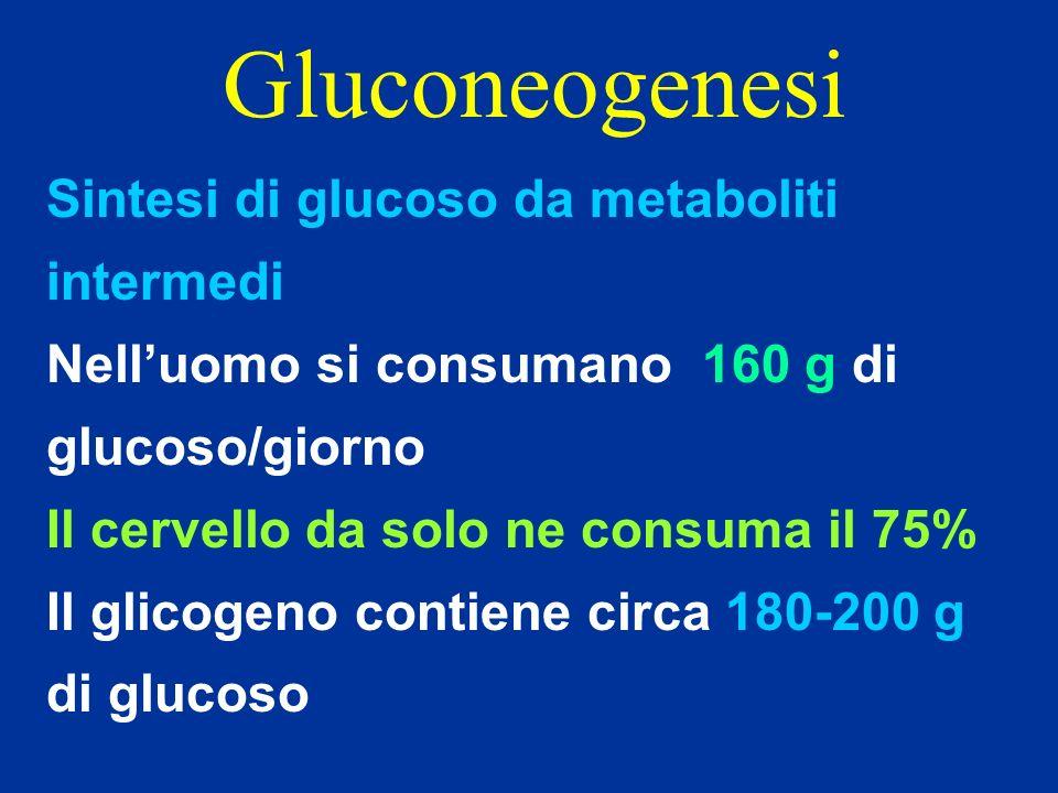 Gluconeogenesi Sintesi di glucoso da metaboliti intermedi