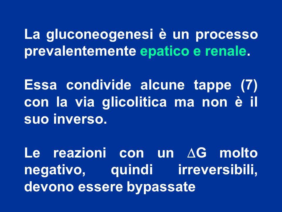 La gluconeogenesi è un processo prevalentemente epatico e renale.