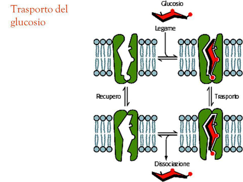 Trasporto del glucosio