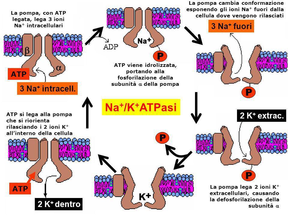 La pompa, con ATP legata, lega 3 ioni Na+ intracellulari