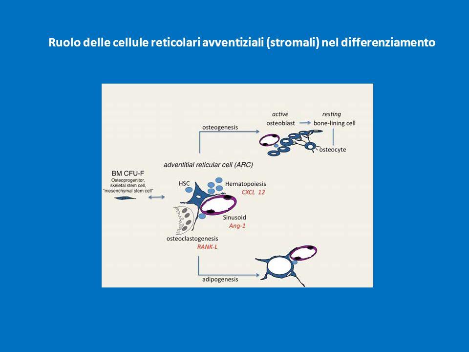 Ruolo delle cellule reticolari avventiziali (stromali) nel differenziamento