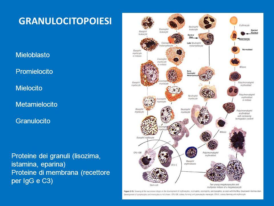 GRANULOCITOPOIESI Mieloblasto Promielocito Mielocito Metamielocito