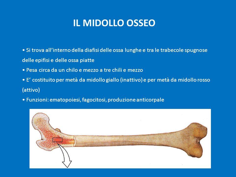 IL MIDOLLO OSSEO Si trova all'interno della diafisi delle ossa lunghe e tra le trabecole spugnose delle epifisi e delle ossa piatte.