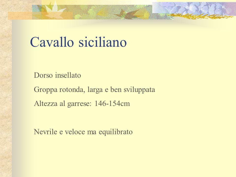 Cavallo siciliano Dorso insellato