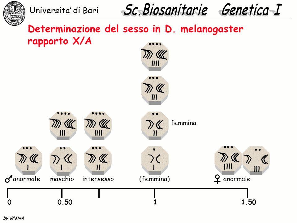 Determinazione del sesso in D. melanogaster rapporto X/A