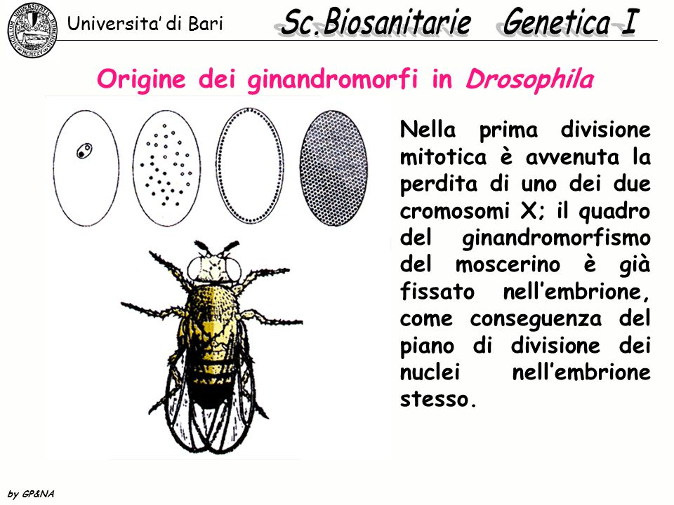 Origine dei ginandromorfi in Drosophila