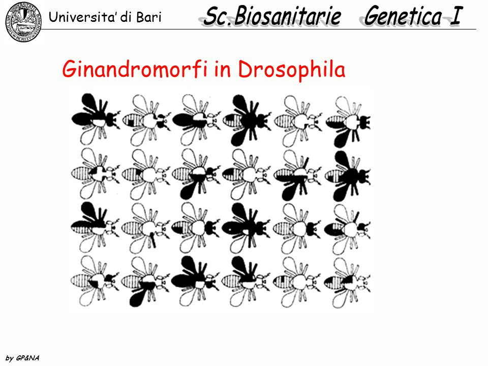 Ginandromorfi in Drosophila