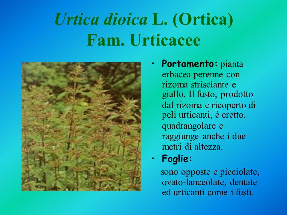 Urtica dioica L. (Ortica) Fam. Urticacee