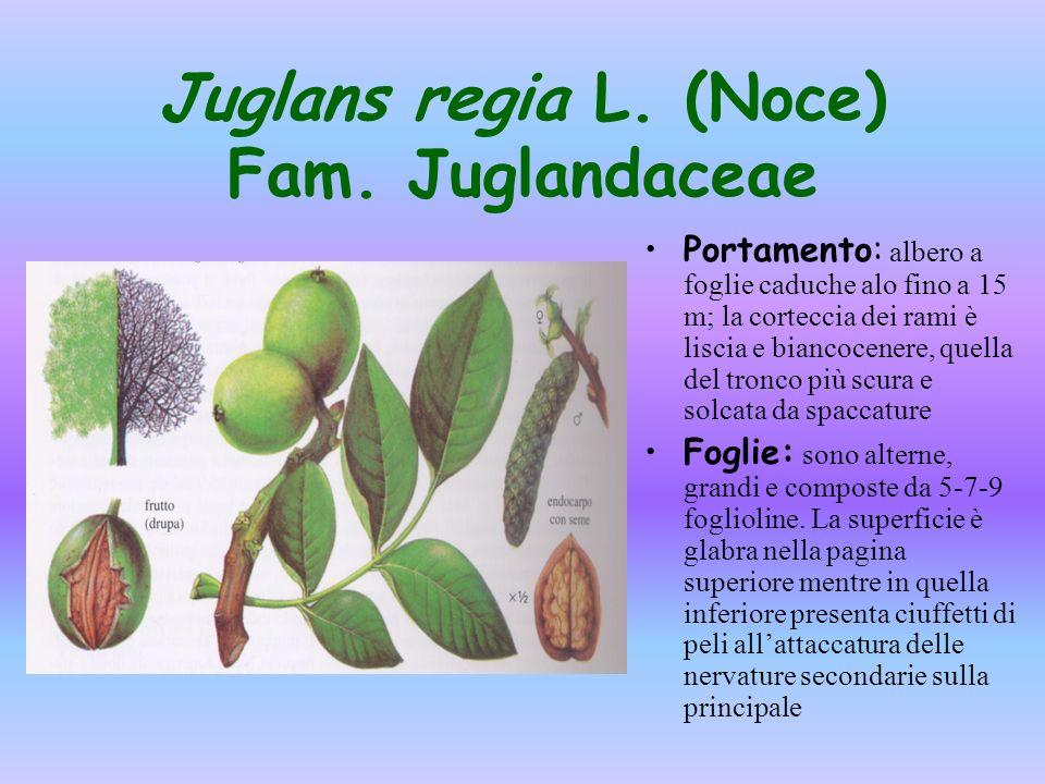 Juglans regia L. (Noce) Fam. Juglandaceae