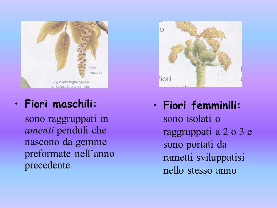 Fiori maschili: sono raggruppati in amenti penduli che nascono da gemme preformate nell'anno precedente.
