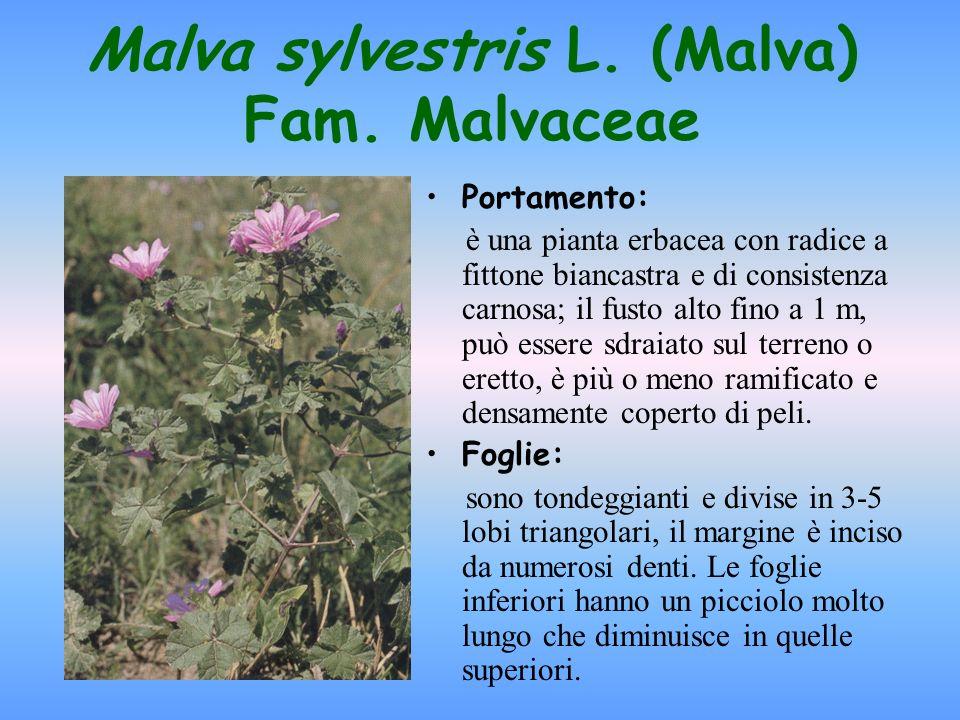 Malva sylvestris L. (Malva) Fam. Malvaceae