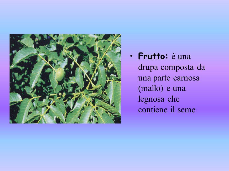 Frutto: è una drupa composta da una parte carnosa (mallo) e una legnosa che contiene il seme