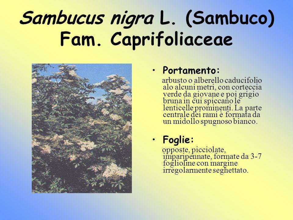 Sambucus nigra L. (Sambuco) Fam. Caprifoliaceae