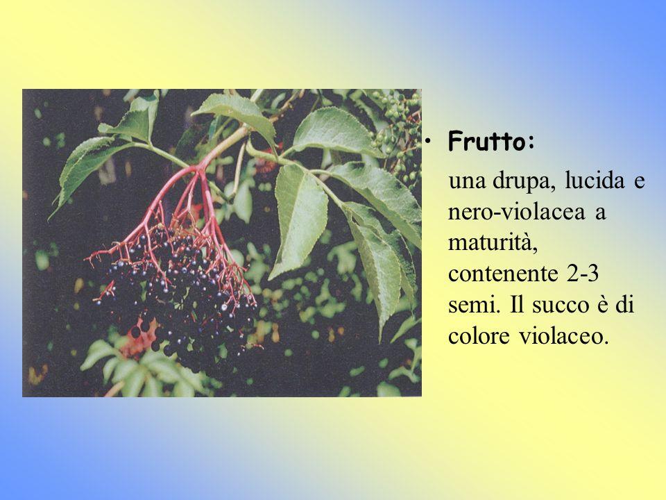 Frutto: una drupa, lucida e nero-violacea a maturità, contenente 2-3 semi.