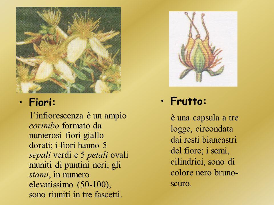 Frutto: è una capsula a tre logge, circondata dai resti biancastri del fiore; i semi, cilindrici, sono di colore nero bruno-scuro.