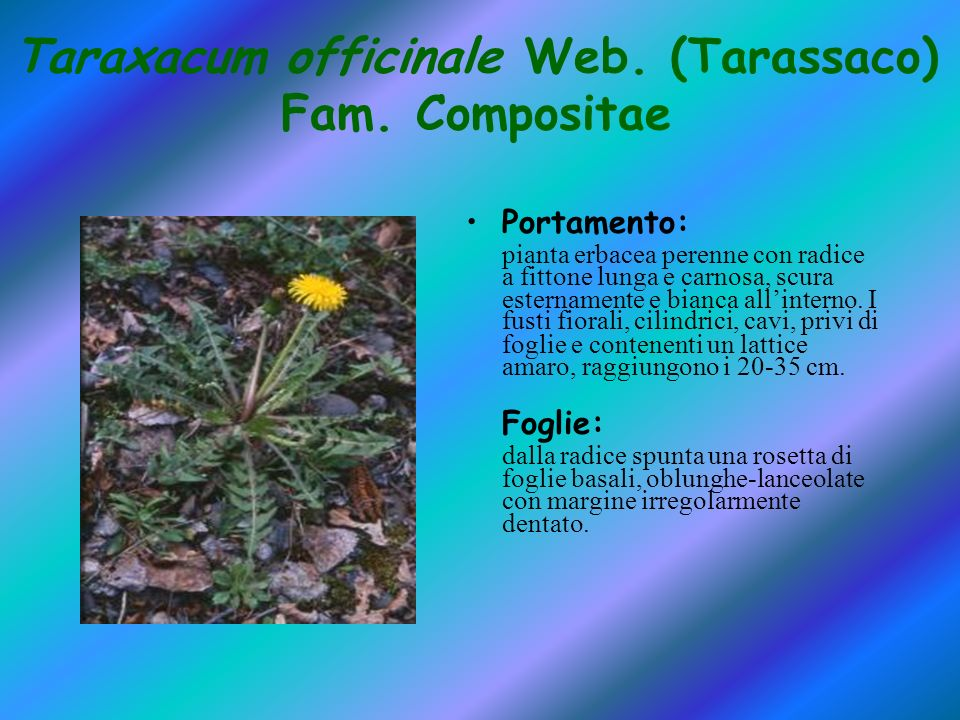 Taraxacum officinale Web. (Tarassaco) Fam. Compositae