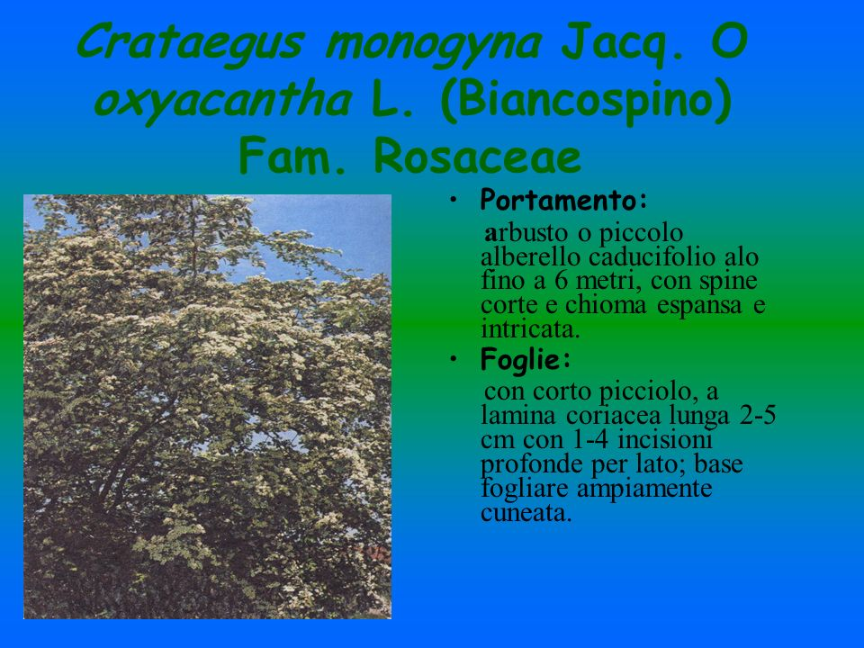Crataegus monogyna Jacq. O oxyacantha L. (Biancospino) Fam. Rosaceae
