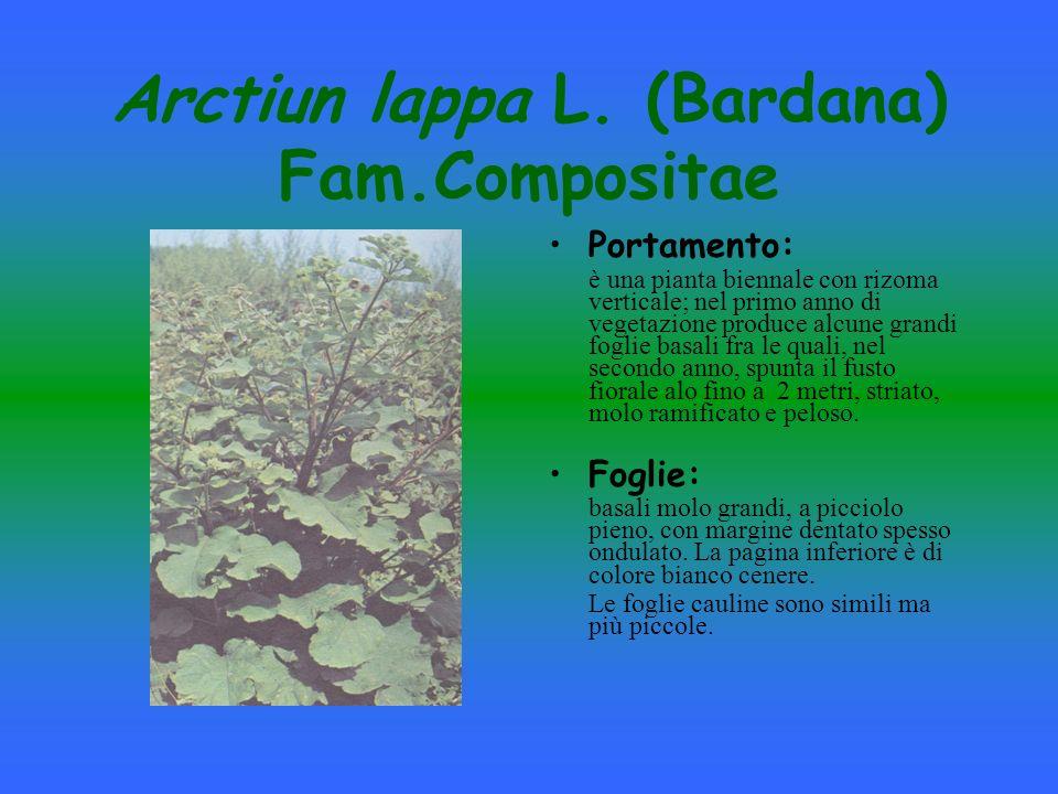 Arctiun lappa L. (Bardana) Fam.Compositae
