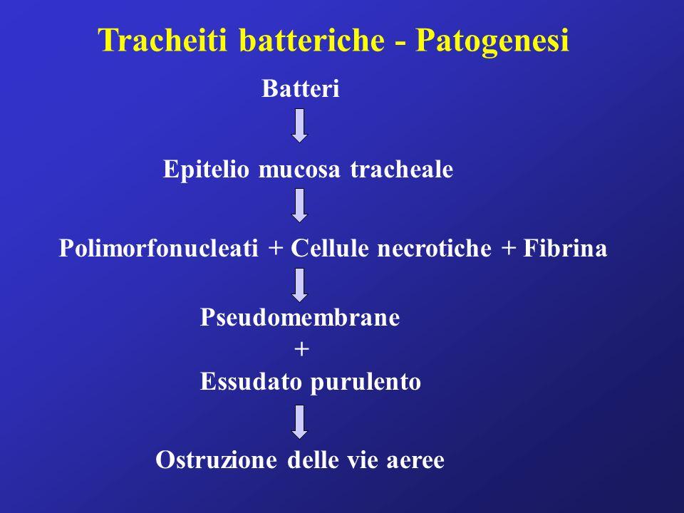 Tracheiti batteriche - Patogenesi