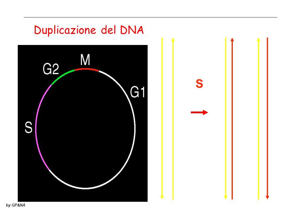 Duplicazione del DNA S by GP&NA