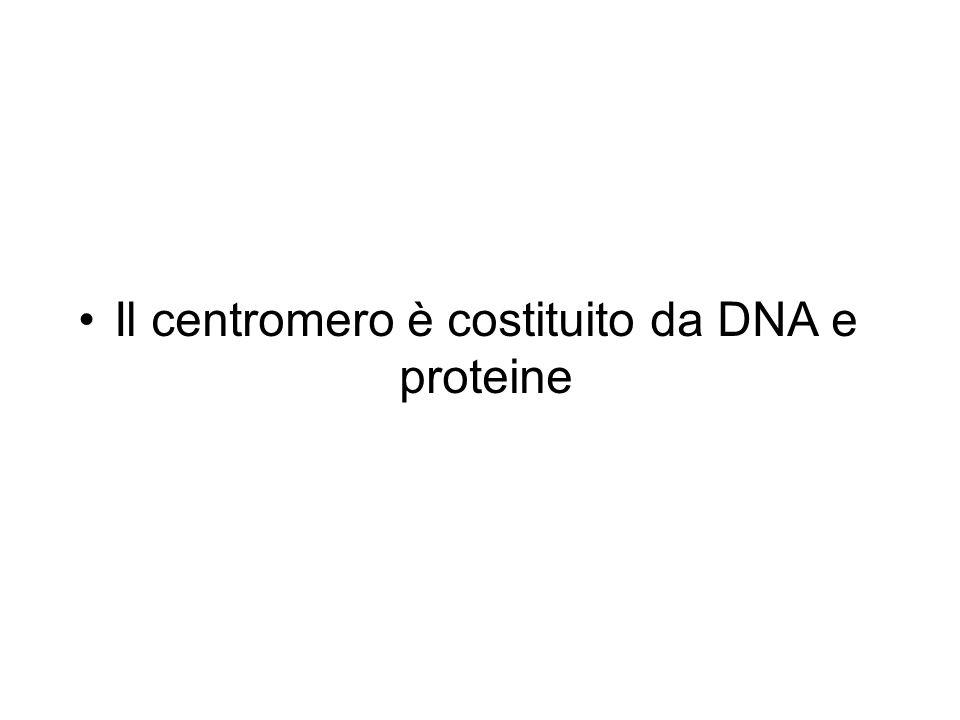 Il centromero è costituito da DNA e proteine