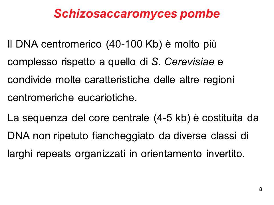 Schizosaccaromyces pombe