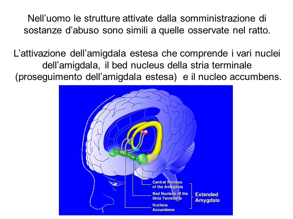 (proseguimento dell'amigdala estesa) e il nucleo accumbens.