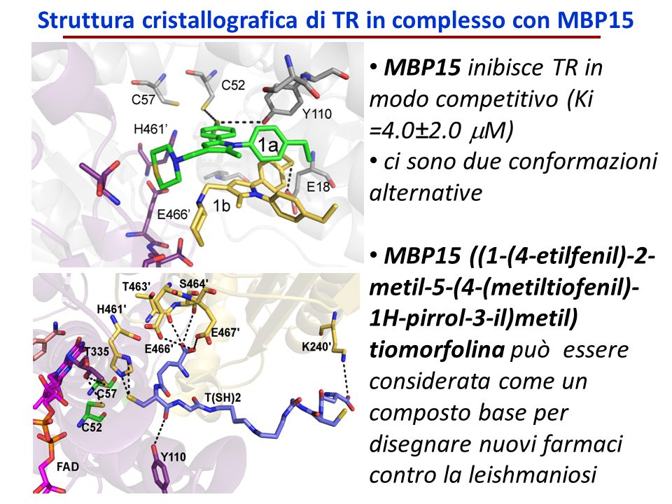 Struttura cristallografica di TR in complesso con MBP15