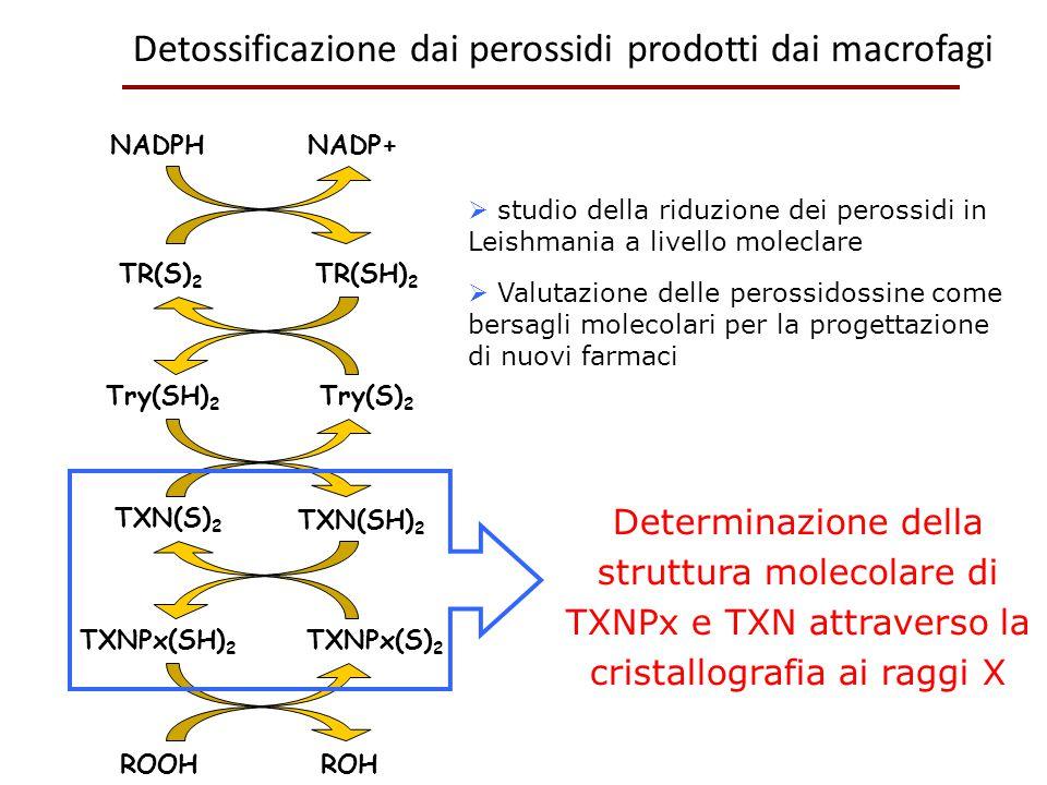 Detossificazione dai perossidi prodotti dai macrofagi