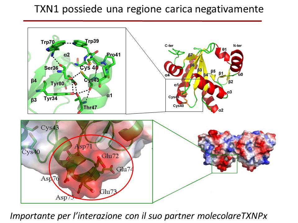 TXN1 possiede una regione carica negativamente