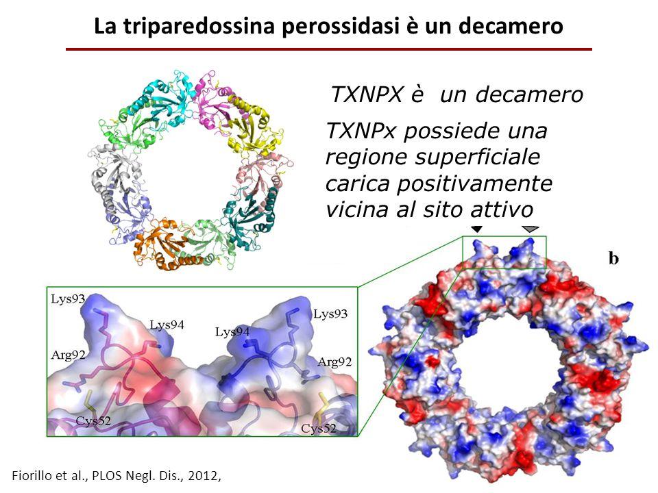 La triparedossina perossidasi è un decamero