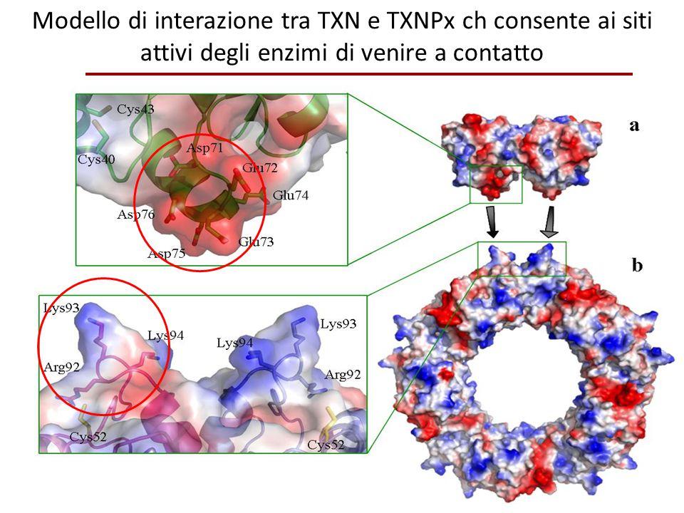 Modello di interazione tra TXN e TXNPx ch consente ai siti attivi degli enzimi di venire a contatto