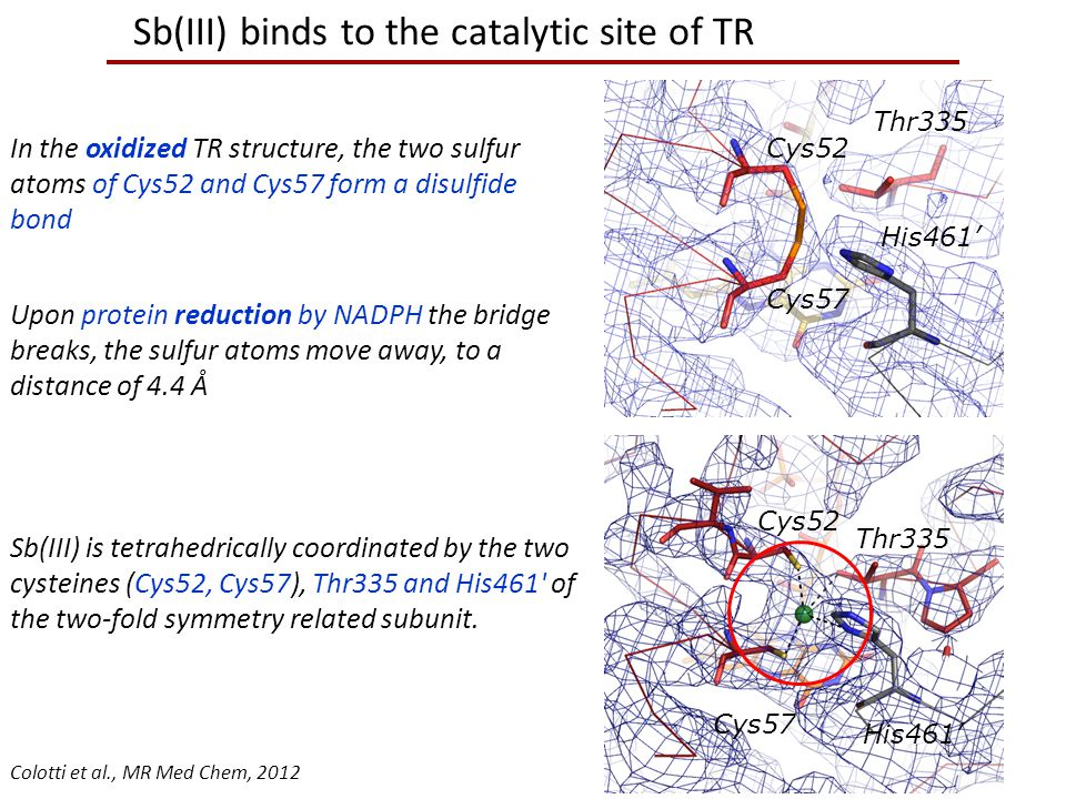 Sb(III) binds to the catalytic site of TR