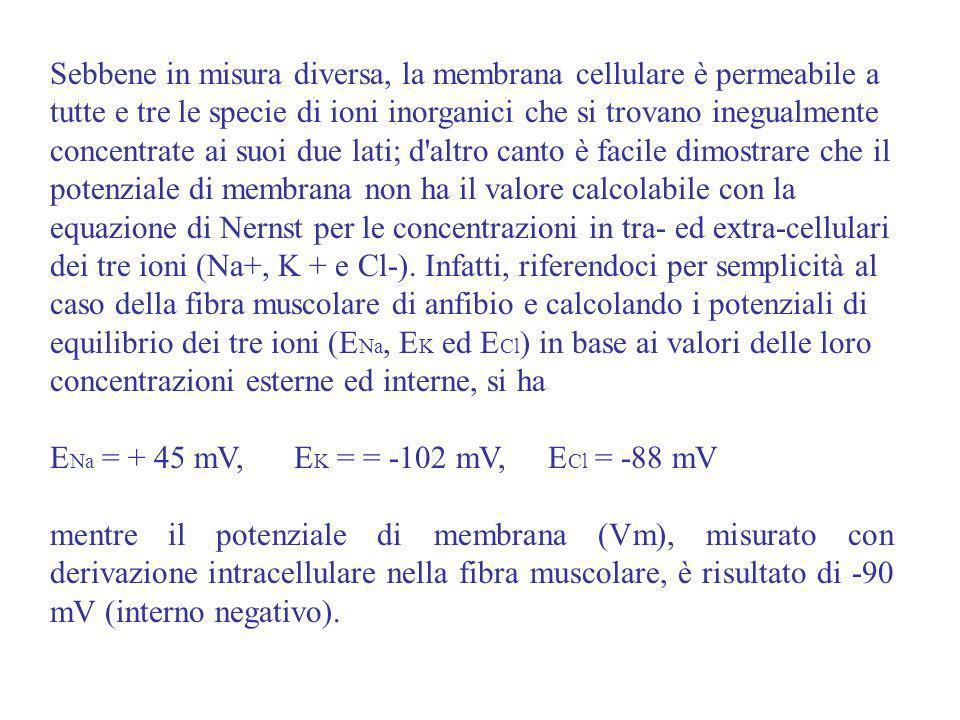 Sebbene in misura diversa, la membrana cellulare è permeabile a tutte e tre le specie di ioni inorganici che si trovano inegualmente concentrate ai suoi due lati; d altro canto è facile dimostrare che il potenziale di membrana non ha il valore calcolabile con la equazione di Nernst per le concentrazioni in tra- ed extra-cellulari dei tre ioni (Na+, K + e Cl-). Infatti, riferendoci per semplicità al caso della fibra muscolare di anfibio e calcolando i potenziali di equilibrio dei tre ioni (ENa, EK ed ECl) in base ai valori delle loro concentrazioni esterne ed interne, si ha