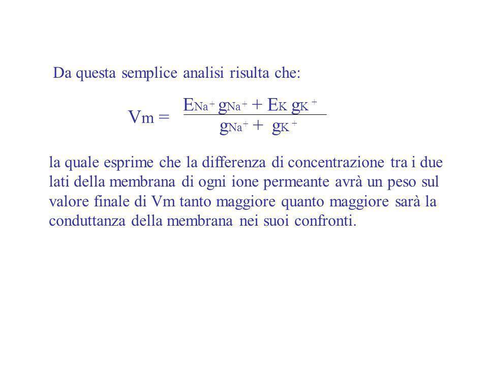ENa gNa + EK gK Vm = gNa + gK Da questa semplice analisi risulta che: